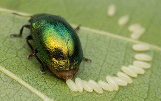 Plagiosterna aenea · žaliasis girinukas 2977
