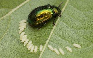 Plagiosterna aenea · žaliasis girinukas 2978