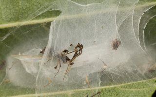 Araneae · vorai 2987