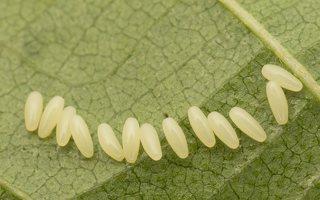 Plagiosterna aenea eggs · žaliasis girinukas, kiaušinėliai 2990