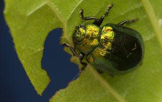 Plagiosterna aenea · žaliasis girinukas 2995