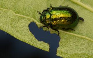 Plagiosterna aenea · žaliasis girinukas 2996