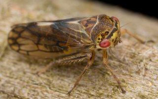 Oncopsis alni · cikadėlė