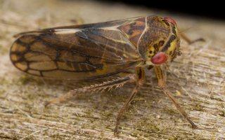 Oncopsis alni · cikadėlė 2998