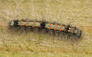 Lithosia quadra caterpillar · keturtaškė kerpytė, vikšras 3010