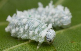 Eriocampa ovata larva · pjūklelis, lerva 3018