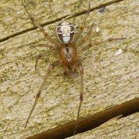Phylloneta sisyphia · margasis kilpininkas 3020