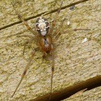 Phylloneta sisyphia · margasis kilpininkas 3021