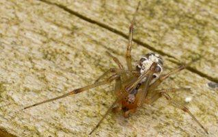 Phylloneta sisyphia · margasis kilpininkas 3024