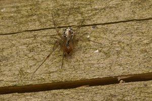 Phylloneta sisyphia · margasis kilpininkas 3025