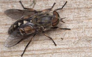 Tabanidae · sparvos 3034