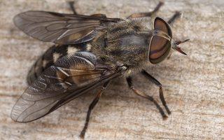Tabanidae · sparvos 3035