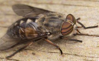 Tabanidae · sparvos 3037