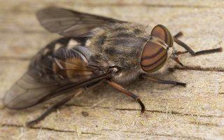 Tabanidae · sparvos 3038