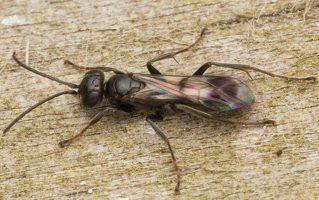 Hymenoptera · plėviasparnis 3042
