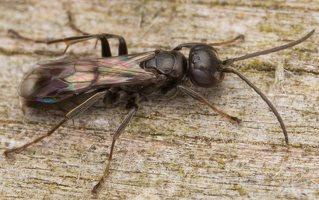 Hymenoptera · plėviasparnis 3044