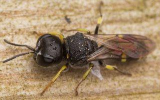 Hymenoptera · plėviasparnis 3046