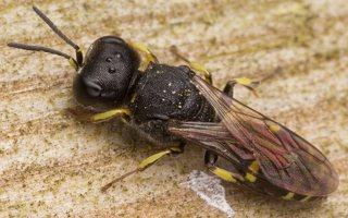 Hymenoptera · plėviasparnis 3047