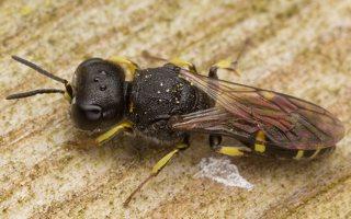 Hymenoptera · plėviasparnis 3048
