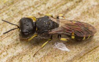 Hymenoptera · plėviasparnis 3049
