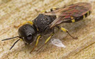 Hymenoptera · plėviasparnis 3050