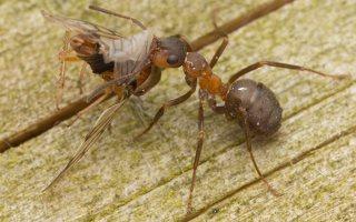 Formicidae · skruzdėlės 3052
