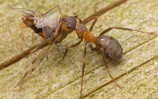 Formicidae · skruzdėlės 3053