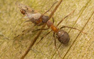 Formicidae · skruzdėlės 3054