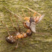 Formicidae · skruzdėlės 3055