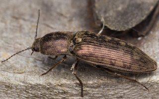 Actenicerus siaelandicus · strazdanotasis spragšis 3056
