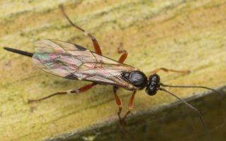 Hymenoptera · plėviasparnis 3057
