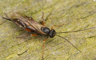Hymenoptera · plėviasparnis 3061