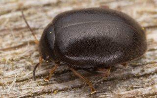 Scirtes hemisphaericus · liūnvabalis 3069