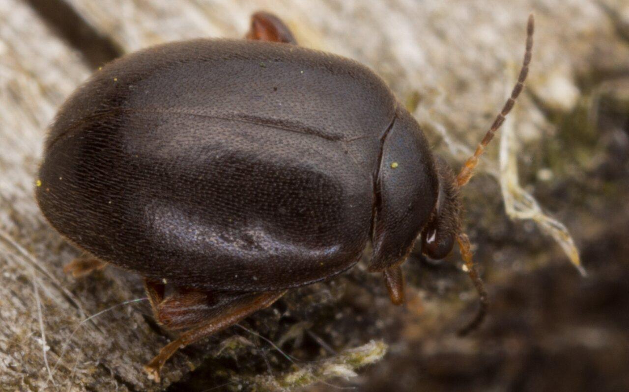 Scirtes hemisphaericus · liūnvabalis -- 3073