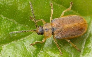 Galerucella lineola · guobinis aksominukas 3080