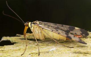 Panorpa communis female · paprastoji skorpionmusė ♀ 3081