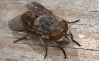 Tabanidae · sparvos 3082