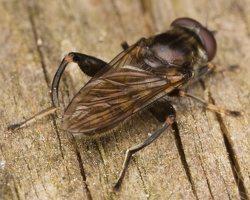 Chalcosyrphus nemorum · žiedmusė 3083