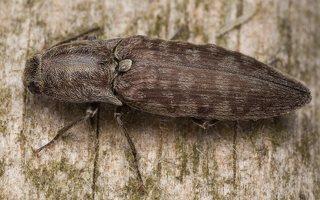 Actenicerus siaelandicus · strazdanotasis spragšis 3093