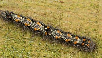 Lithosia quadra caterpillar · keturtaškė kerpytė, vikšras 3115