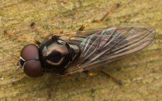 Syrphidae · žiedmusės 3214