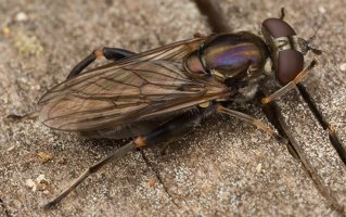 Chalcosyrphus nemorum female · žiedmusė ♀ 3216