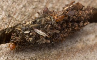 Dachlica triquetrella · tribriaunis maišuotis