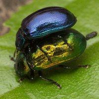 Plagiosterna aenea · žaliasis girinukas 3229