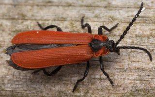 Lygistopterus sanguineus · žiedvabalis 3237