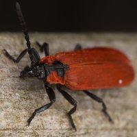 Lygistopterus sanguineus · žiedvabalis 3238