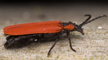 Lygistopterus sanguineus · žiedvabalis 3239