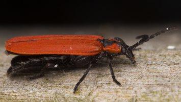 Lygistopterus sanguineus · žiedvabalis 3240