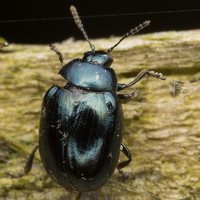 Phaedon armoraciae · šlapyninis žėrulis 3244