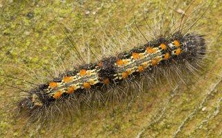 Lithosia quadra caterpillar · keturtaškė kerpytė, vikšras 3247